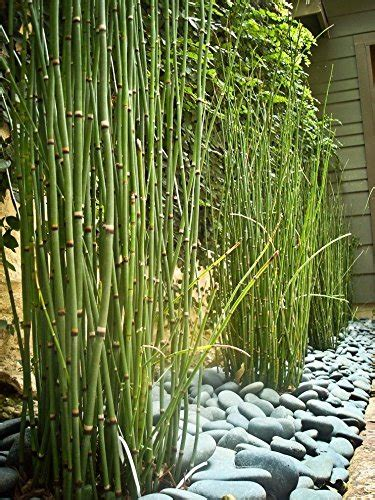 20 Horsetail Reed Grass Looks Like Mini Bamboo Equisetum