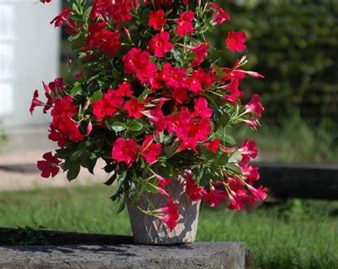 sundaville fiore sundaville pianta ricanti sundaville caratteristiche