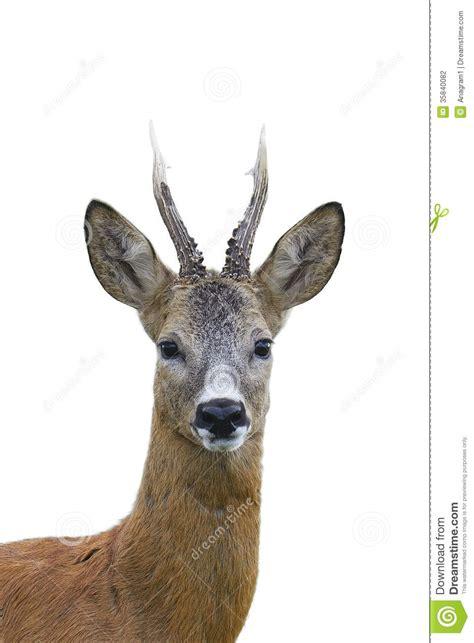 buck image roe deer buck portrait stock photo image of view