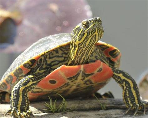 colors of the turtles painted turtles slideshow