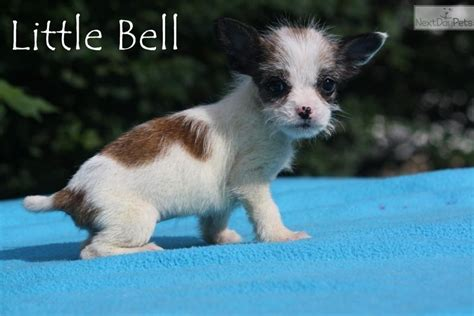 teacup shih poo puppies for sale shih poo shihpoo puppy for sale near jackson tennessee 57d351b6 dfb1