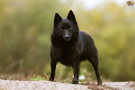 Schipperke Shedding by The 17 Most Intelligent Breeds On Earth Highlight Press
