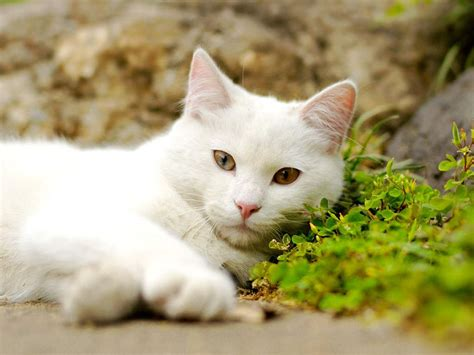 high definition wallpapers cat wallpapers