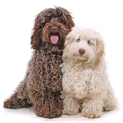 cockapoo puppy pictures cockapoo puppies rescue pictures information temperament characteristics