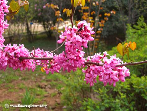 redbud pictures free redbud photos
