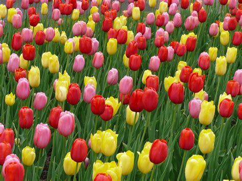 fiori olanda fiori olanda cer club lupo