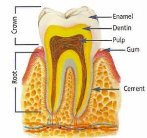 Comfort Dental Of Lafayette Root Canal Therapy Comfort Dental Lafayette Indiana