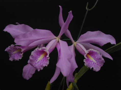 Cattleya Maxy orchidee ultime novita