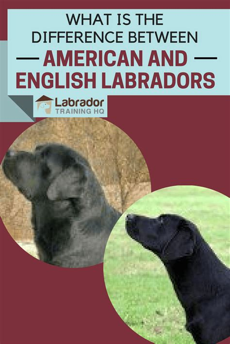 do golden retrievers shed more than labs 100 do newfoundlands shed more than labs golden retriever vs labrador which is