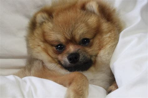 pomeranian illnesses 10 facts about pomeranians