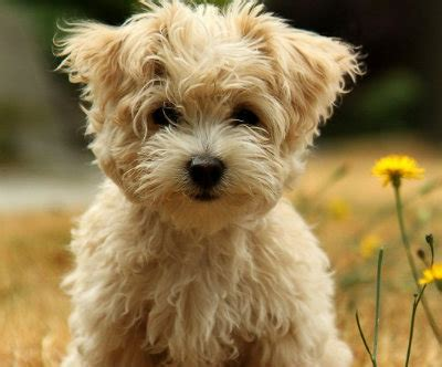 cuban havanese puppies the havanese a cuban velcro valp havanese dogs and