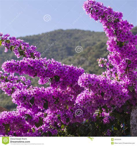 Naples United States purple mediterranean flower stock photo image 39530936