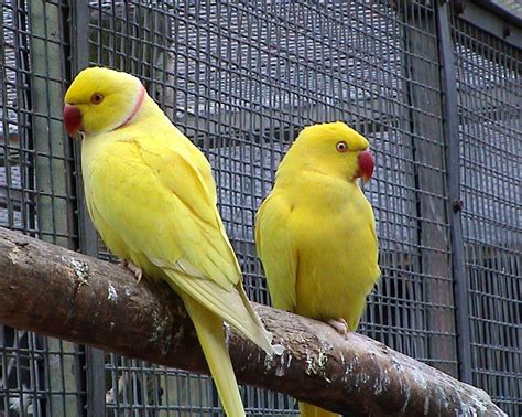all wallpapers yellow parrots