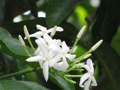 tropical fragrant plants 17 best images about tropical fragrants on