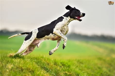 Pointer dog hereditary health and health testing   Pets4Homes