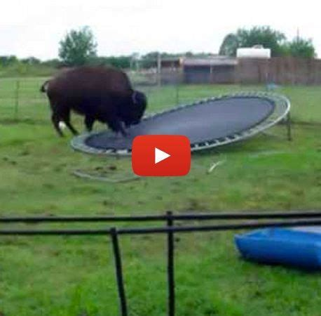 backyard bison bison plays on a backyard troline trolines and plays