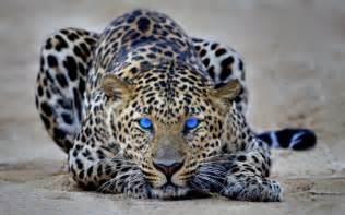 Jaguar Leopard Cheetah Panther Pictures Of Bobcats Cheetah Leopard Jaguars Cheetah Hd