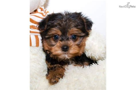 teacup yorkie poo sale yorkiepoo yorkie poo puppy for sale near columbus ohio 247abd39 2701
