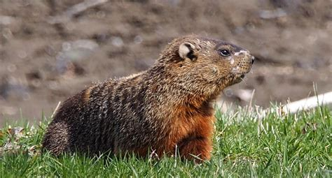 groundhog in backyard i have a groundhog in my backyard 28 images luxury i