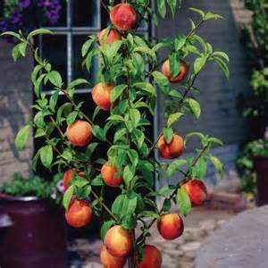 miniature fruit trees 7 popular or miniature fruit trees for a limited
