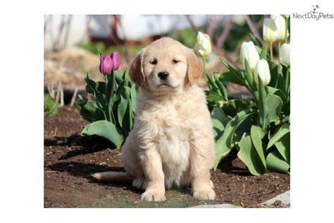 pretty golden retriever meet pretty a golden retriever puppy for sale for 700 pretty golden retriever