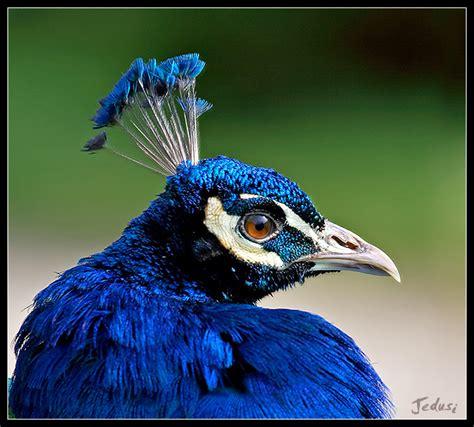 peacock blue peacock blue by jedusi dpchallenge