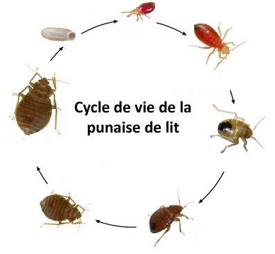 Punaise Du Lit by Cycle De Vie Des Punaises De Lit