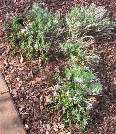 blog of an ancient gardener too late to prune lavender