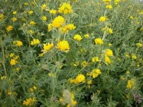 Alfalfa Flower - gallery for gt alfalfa hay flower