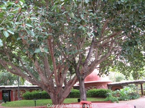 banyan tree bank banyan tree national tree of india gardening bonsai
