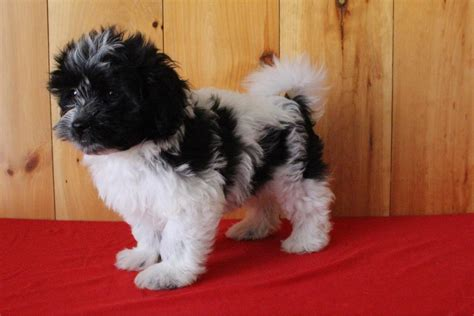 havanese dogs for sale in ohio havanese puppies for sale canton oh 148180 petzlover
