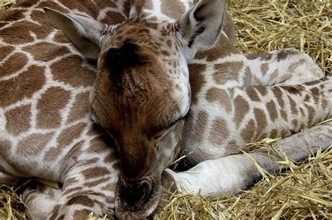 rem schlaf baby giraffe born at paignton zoo and it s already nearly