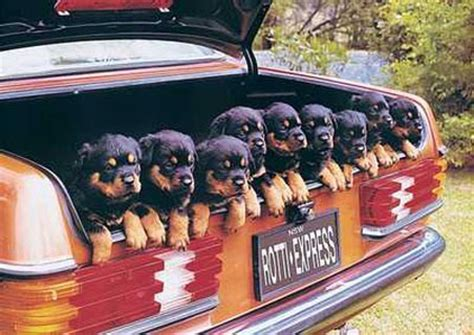 rottweiler in car how many years rottweiler breed lives