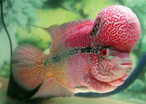 Pakan Ikan Louhan Bagus indonesia louhan competition bandung chapter 2013 bebeja