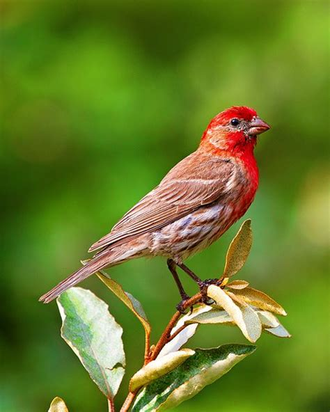 house finch images house finch