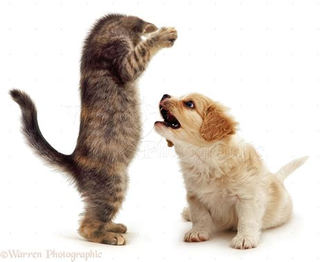 puppies with kittens kittens fighting puppies www imgkid the image kid has it