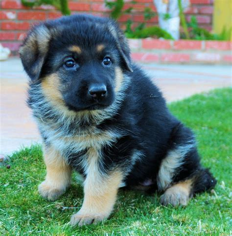 german shepherd chow mix puppy german shepherd chow mix animal live puppies wallpaper litle pups