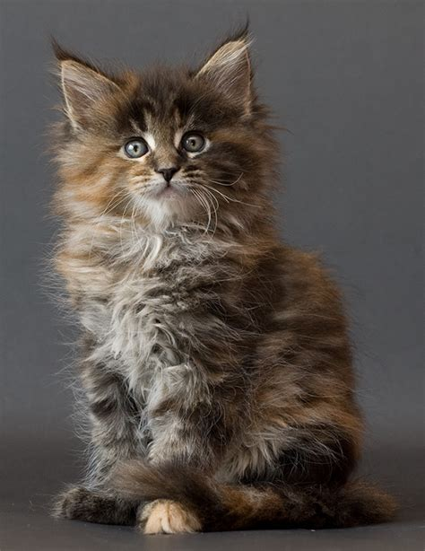 coon breeds all the beautiful cat breeds in the world all2need