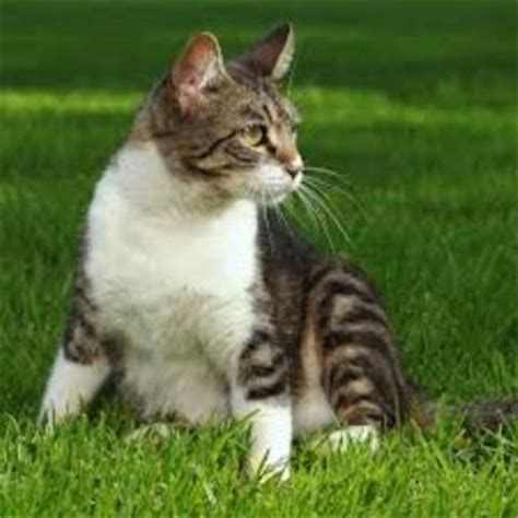 List of Cat Breeds With Pictures and Names   Pets World