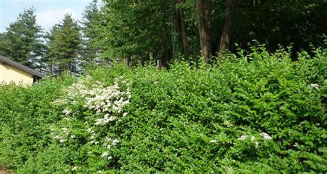 potatura piante da giardino ligustro impianto potatura e cure fai da te in giardino