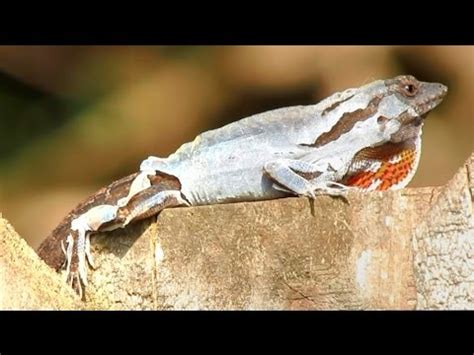 Do Anoles Shed Their Skin by A Lizard The Skin A Lizard The Skin Hd Cinema 21