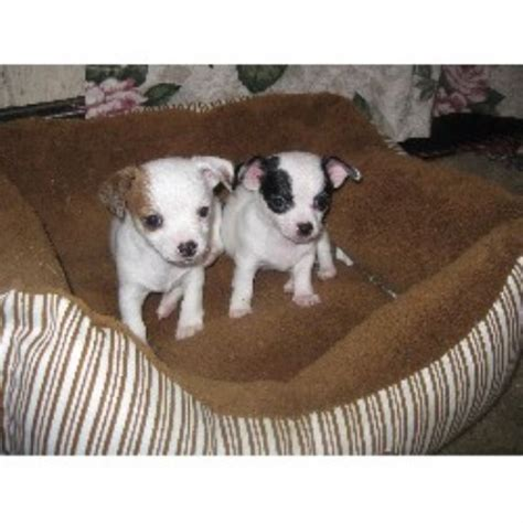 boxer puppies for sale dayton ohio johnsonchihuahua s chihuahua breeder in dayton ohio