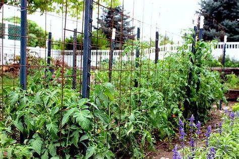 Tomato Garden Ideas Staking Tomatoes Garden Simple Tomatoes Html And Ideas