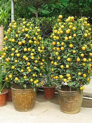 Pupuk Untuk Bunga Supaya Subur cara menanam buah dalam pot agar tabulot cepat berbuah