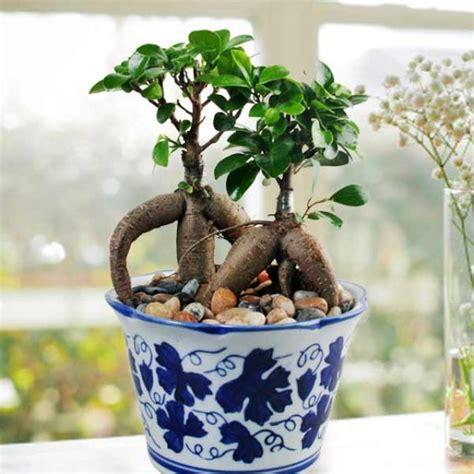 indoor plants singapore ficus plant indoor plant singapore plants