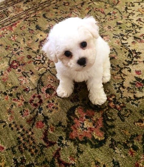 puppies for sale in tn commercial appeal 17 best images about bichon frise on pets puppys and dogs