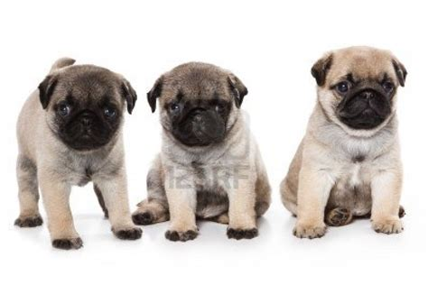 pug puppiea puppy dogs pug puppies