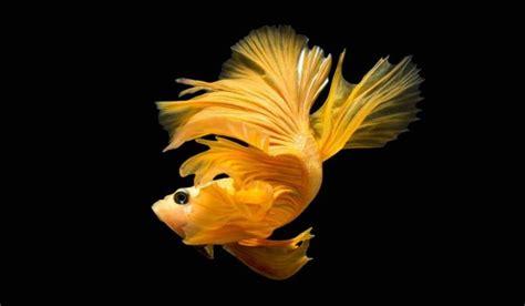 ikan cupang currentapk