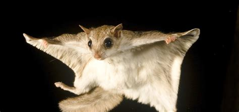 scogliattolo volante southern flying squirrels the most common rodent you ve