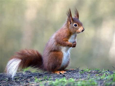 The red squirrel: locations, population & identification